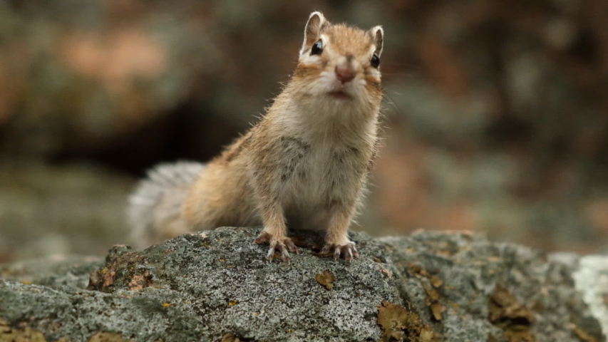 Close-up of a little curious Chipmunk looking at the camera. Slow motion.