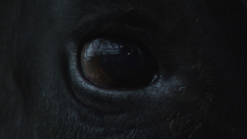 Close-up of a dark blinking eye of a black angus bull reflecting in it in dark light. Horse nobleness beauty concept. Animal welfare and anti-abuse concept