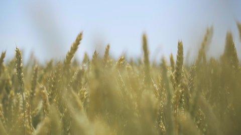 Wheat field. Golden ears of wheat on the field