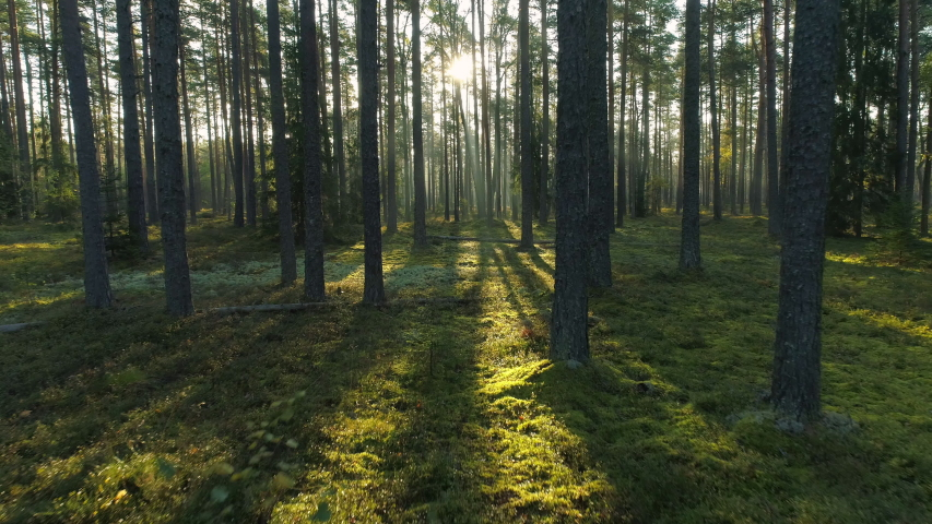 Sunny morning in pine forest camera moving low between trees