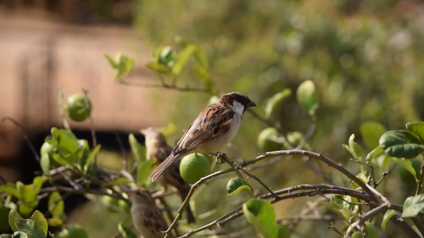 Sparrow on tree - Indian Sparrow  | Shutterstock HD Video #1041062384