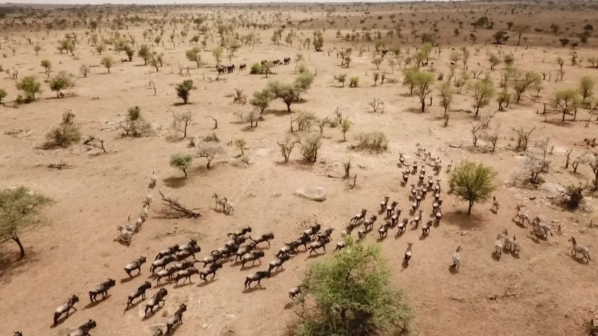 Aerial Drone Wildebeests Herd Great Migration in African Savanna of Serengeti National Park in Tanzania, Africa.