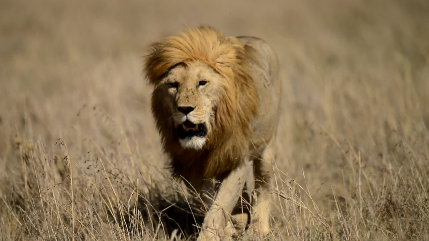 Lion male walking on grass in African Savanna of Serengeti National Park in Tanzania, Africa. Royalty-Free Stock Footage #1041180946