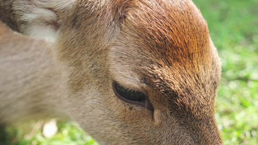 Extreme close of a female deer eyes. Nara, Japan. | Shutterstock HD Video #1041201418