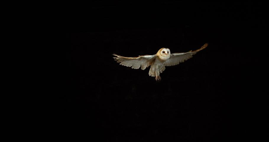 Barn Owl, tyto alba, Adult in flight, Normandy in France, Slow Motion 4K | Shutterstock HD Video #1041205888