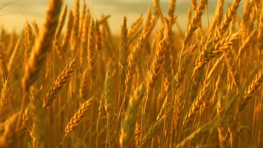 Yellow spikes sway in wind. ripe cereal harvest against sky. Beautiful sky with clouds in the countryside over a field of wheat. A huge yellow field of wheat in idyllic nature in golden rays of sunset