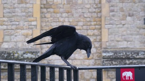 Crows Legend Tower London. Raven at the Tower of London perched on black iron railings with stone wall background. Raven on a balcony of Tower of London. Raven in Tower of London, UK.