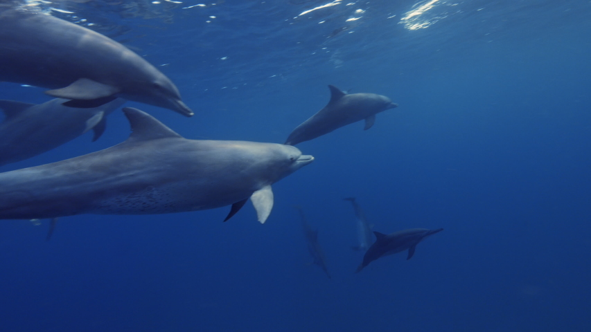 Dolphins underwater in blue sea, aquatic life media | Shutterstock HD Video #1041238753