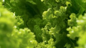 4k closeup footage of camera slowly moving between fresh green lettuce of cabbage leaves. Concept of healthy nutrition and organic food. Perfect background for vegetarian or vegan