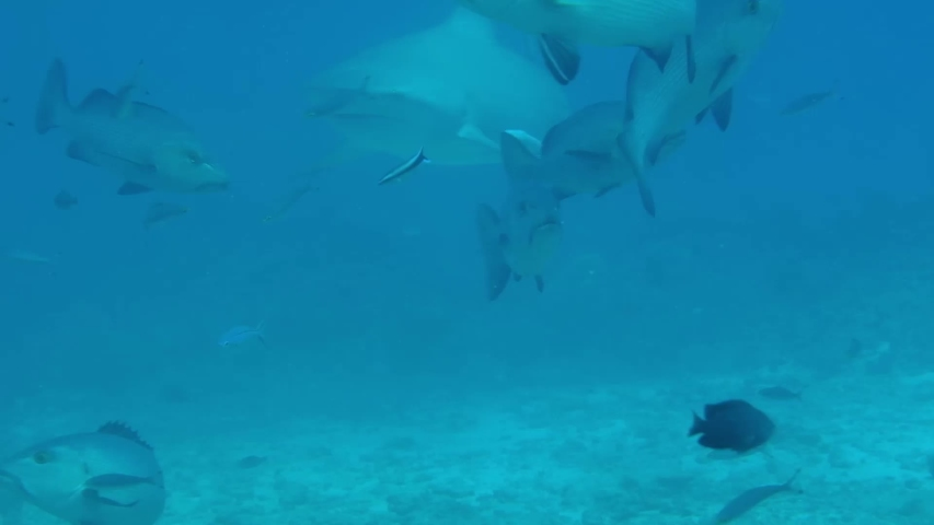 Huge bull sharks swim close by, at a reef near the Yasawa islands in Fiji