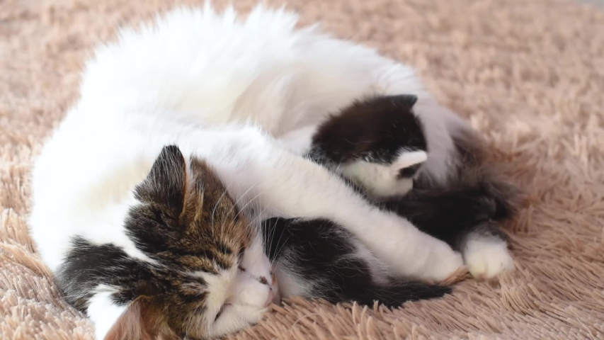 Fluffy mom cat licks and plays with her cute newborn black and white kitten on the bed | Shutterstock HD Video #1041461533