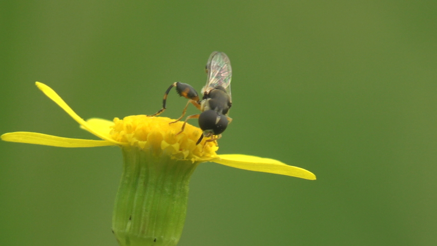 Hermetia illucens, black soldier fly, family Stratiomyidae collects nectar on yellow wildflower that staggers in summer wind. Macro view insect   Shutterstock HD Video #1041521965