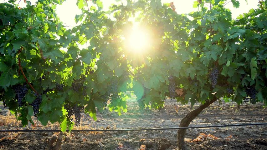 Vineyard at dawn, bunches of grapes in the morning sun, blue grapes at sunrise close up, Blue Grapes In Vineyard, Vineyard red wine grapes on the vine at winery, Vineyard at dawn #1041522523