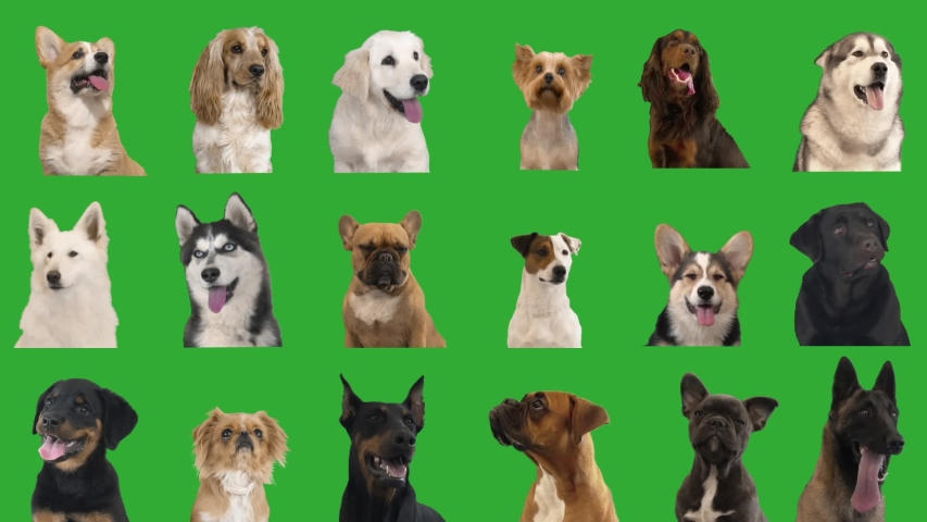 Portraits of dogs on a green screen. collage
