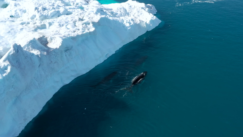 Whale breaching by icebergs in arctic nature with ice in icefjord landscape. Humpback whale. Aerial video with wildlife, ice and iceberg from Ilulissat, Greenland.
