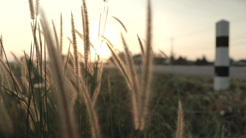 Slow motion of Cogon grass swaying flower by the wind with sunset in the rural.   Shutterstock HD Video #1041552928