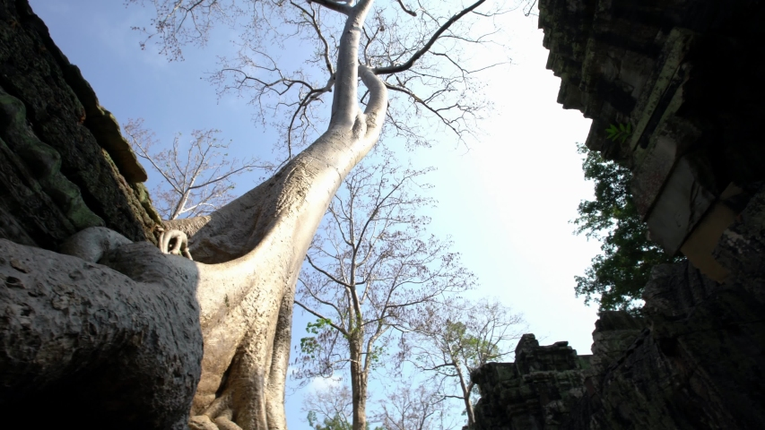 4K, Ta Prohm temple with strangler fig. Unrestored and still covered with jungle and lush vegetation. There are huge trees and tree roots that grow through the temples ruins. Tetrameles nudiflora -Dan