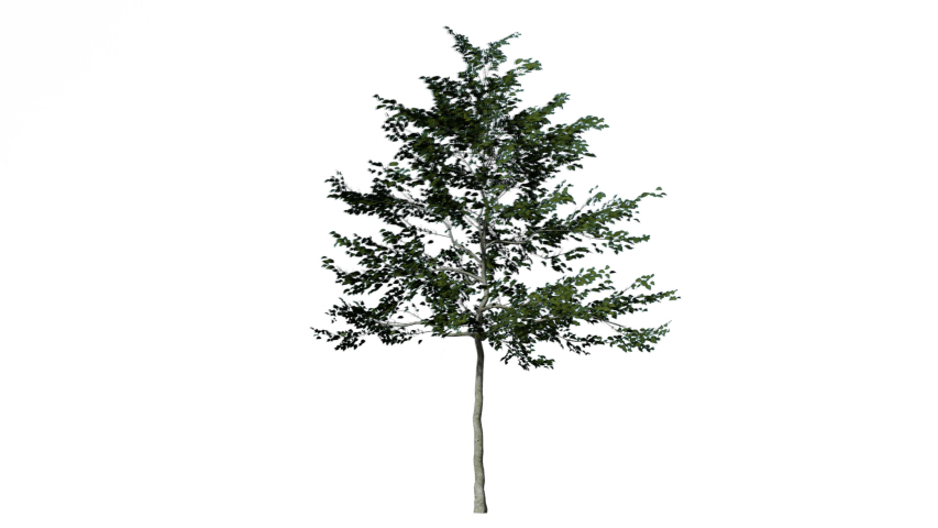 Beech tree on the wind isolated with transparent background,Realistic 3D rendering in 4K with Alpha channel.   Shutterstock HD Video #1041566242