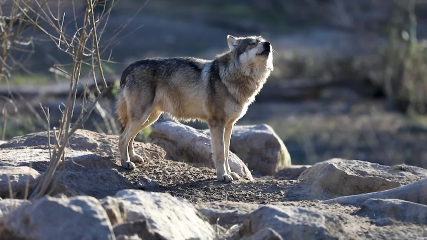Howling of a grey wolf during the winter Royalty-Free Stock Footage #1041608305
