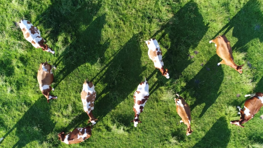Aerial top-down view flight over meadow with red Holstein Friesians cattle grazing showing their long shadows from sundown in grass field these cows are usually used for dairy production 4k quality