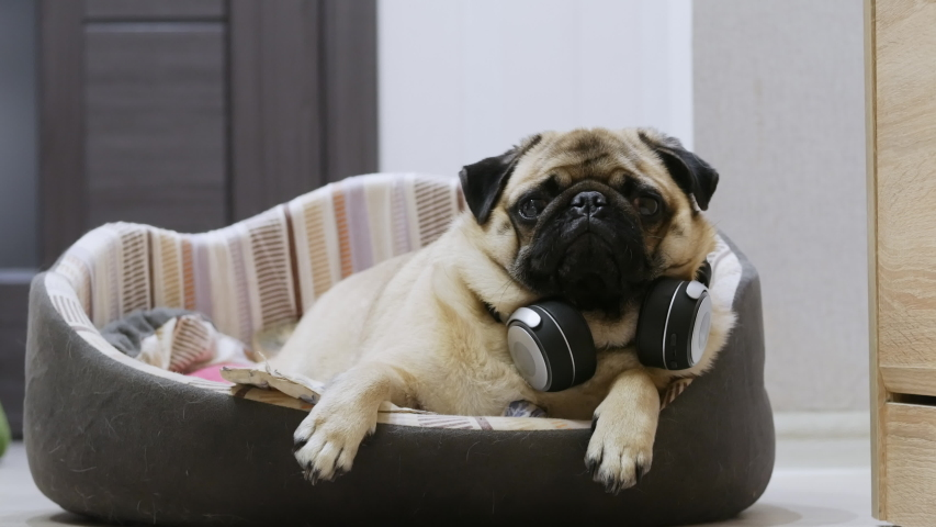 Funny cute pug dog listening to music on wireless headphones, resting and lies in a dog bed | Shutterstock HD Video #1041641131