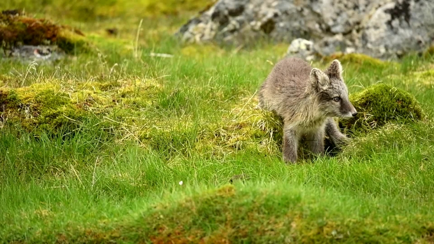 Two arctic fox kits fighting and tussling and running off into rocks. Arctic Fox Kit Digs Hole In Grass Arctic fox on the rocks from Norway Spitsbergen Norway Mountain.