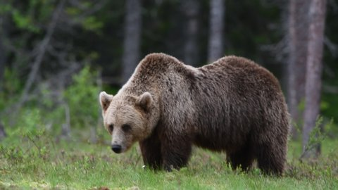 Brown Bear Pooping in the foreground.  Brown breaks into the frame and poops in the foreground.