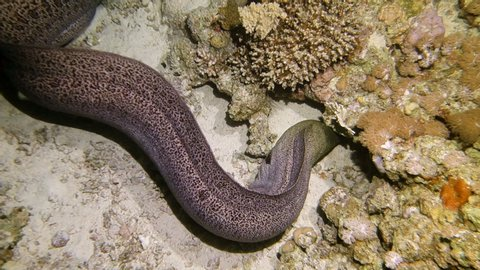 Giant moray eel hunting at night at a colorful coral reef. Beautiful Aquatic Underwater Wildlife footage.
