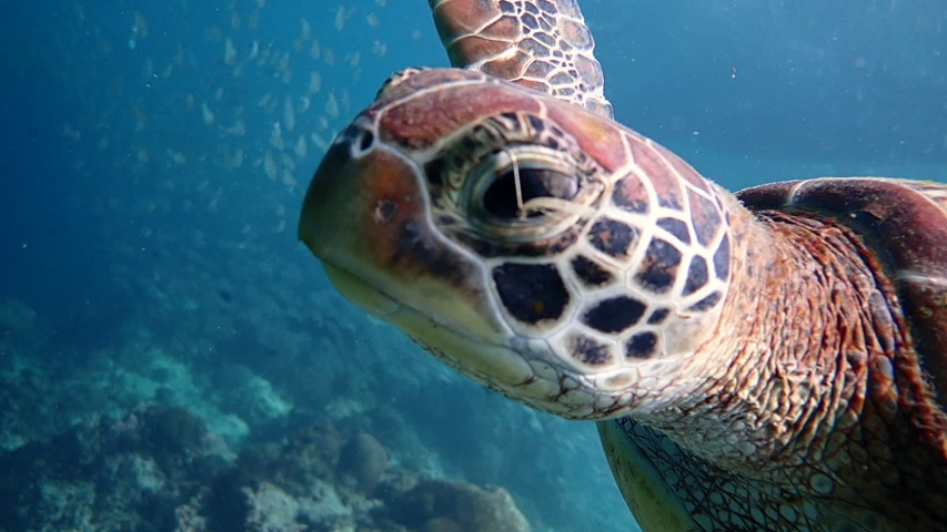 Green sea turtle (chelonia mydas) caught by a fish hook hanging above its left eye, close up. Moalboal, Cebu, Philippines.   Shutterstock HD Video #1041885667