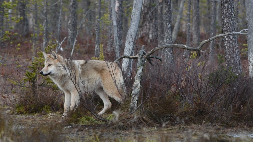 Eurasian wolf, also known as the gray or grey wolf also known as Timber wolf.  Scientific name: Canis lupus lupus. Natural habitat. Autumn forest. | Shutterstock HD Video #1041919915