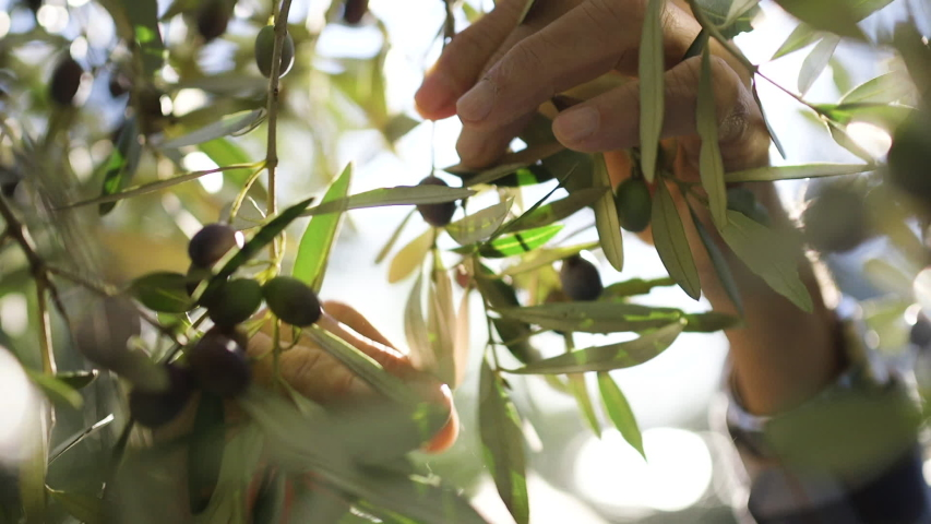 Close up of old hands harvesting picking up olives on a sunset, sun shining trough the leaves. Royalty-Free Stock Footage #1042005031