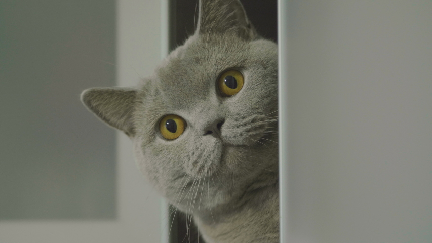 Cute silly cat peeking from around the corner. Big fluffy cat peeks out the corner. Cat hid on a shelf and peeps out. Cat looking funny. | Shutterstock HD Video #1042028203