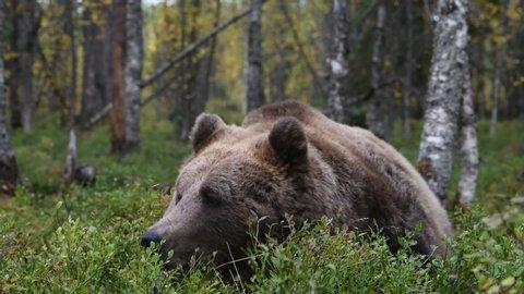 Brown bear in the autumn forest. Close up. Scientific name: Ursus Arctos.  Natural habitat.
