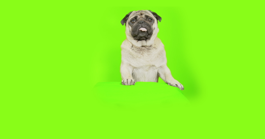 Cute pug dog standing on some object, looking out from behind. Suprised, Looking down and to the camera. Green screen | Shutterstock HD Video #1042214917