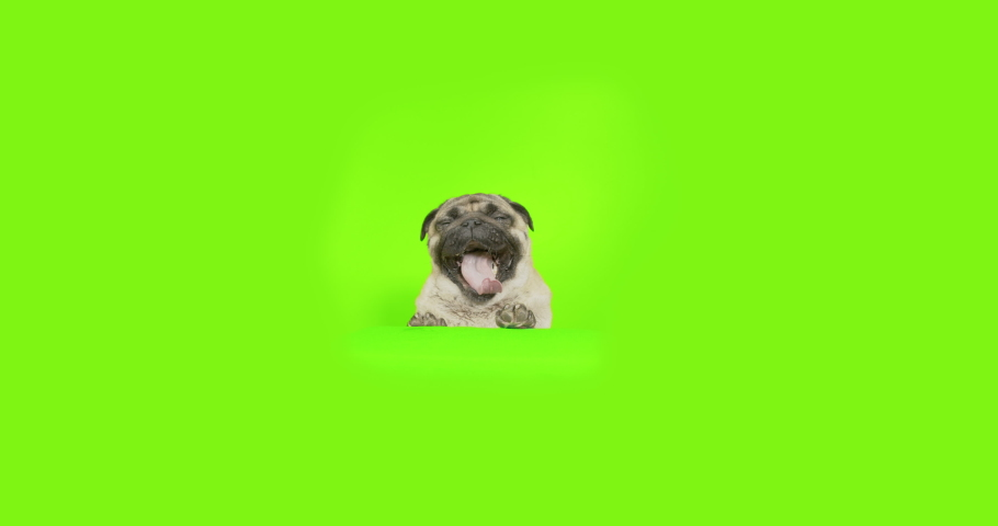 Cute pug dog standing on some object, standing with forepaws, front paws on some raised platform. Breathing, bored yawning. Looking to the camera. Green screen   Shutterstock HD Video #1042215349