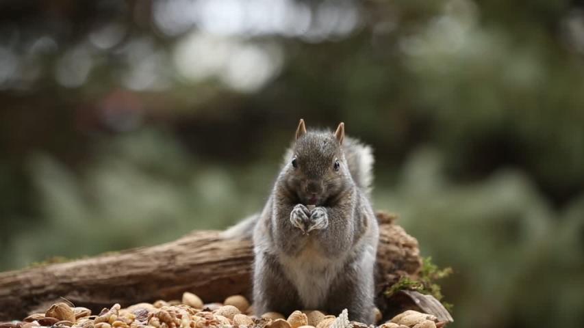 Grey Squirrel on the feeder