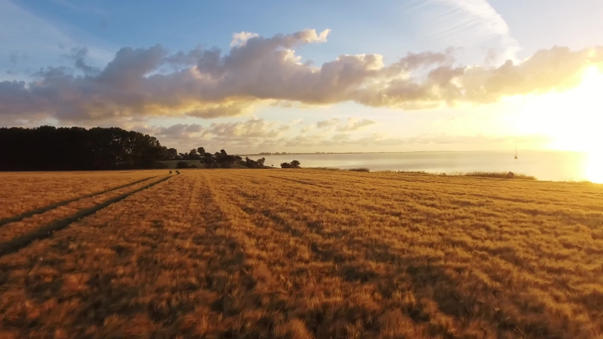 Aerial video of Wheat field in sunset time     taken by drone camera