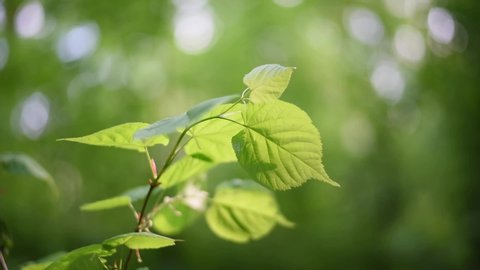 Lime tree branches with green leaves in natural sunlight The leaves swing on the branches in the soft sunlight