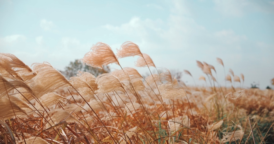 Silver grass flower blowing in the wind, silver grass flower sway in the wind. Royalty-Free Stock Footage #1042244224