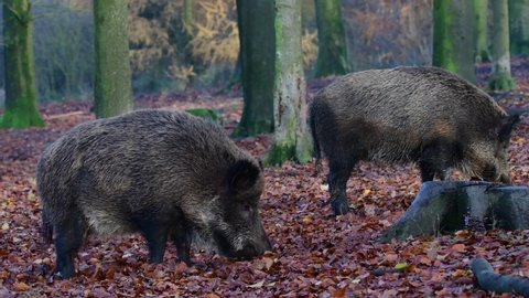 Two wild boar females search feed in the forest, autumn, (sus scrofa), germany