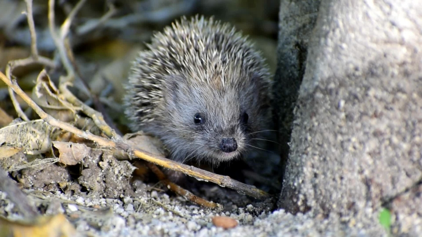 Little hedgehog sniffing. Close-up view of a hedgehog. Animal themes. Portrait of cute hedgehogs