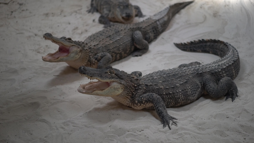 Three crocodiles with open mouth full of jaws. Dangerous aligator ready to bite.
