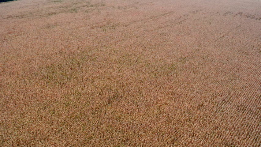 Flight over plantation of corn field. Aerial view | Shutterstock HD Video #1042378888