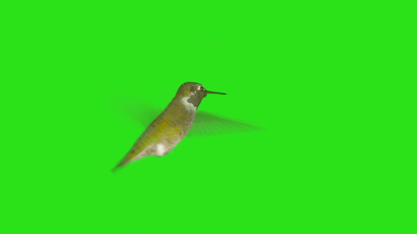 Real Humming Bird with Alpha Channel Matte mask in 4K