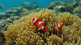 Pair of swimming clownfish in the anemone, colorful healthy coral reef. Couple of Anemonefish underwater. Underwater video from scuba diving on reef. Marine life. Nemo, tropical fish and corals.