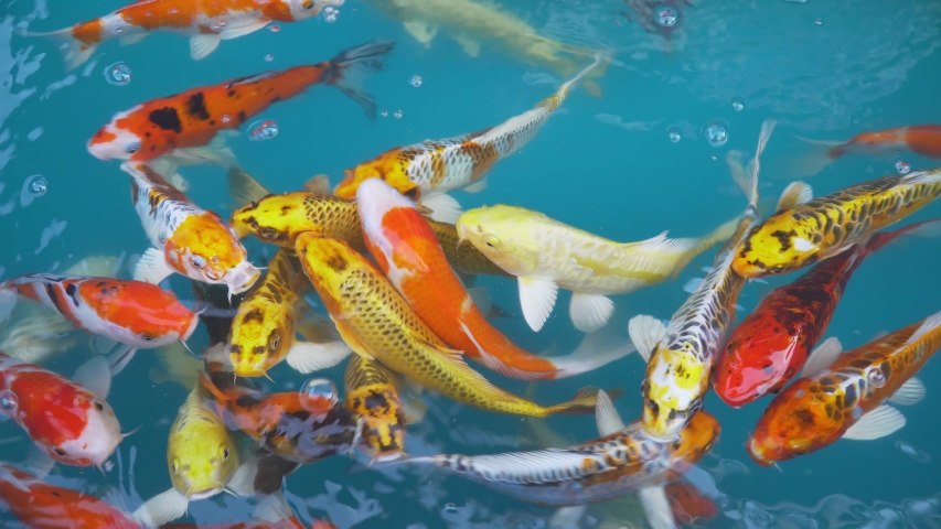 Koi fish or carp fish swimming in pond. It golden red orange and yellow of body koi fish. The surface ripples while the carp fish swim in the pond. It more colorful varieties in outdoor pond or garden | Shutterstock HD Video #1042526632