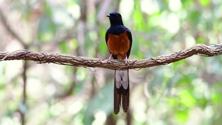 White-rumped Shama Perched on a Vine with Forest Bokeh Background, Copsychus malabaricus, in Slow Motion; perching and grooming after catching some food and bathing.