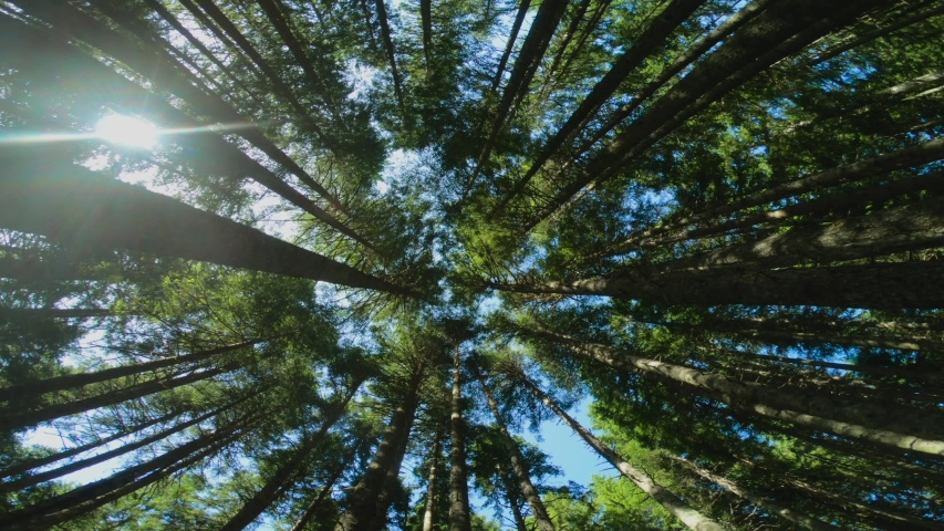 Bottom view of the trees, low angle shot of tree crowns. Camera rotates and spins. Beautiful green nature for background. Coniferous grove. Durmitor national park in Montenegro. Fisheye lens shot