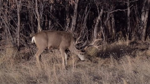 Large Mule Deer Buck Emerges from the Woods