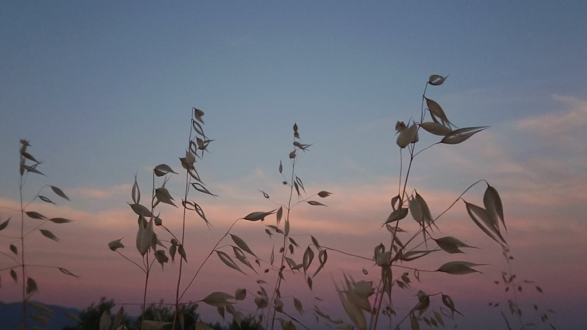 Beautiful feather grass flying in the wind at sunset time in super slow motion.   Shutterstock HD Video #1042621768